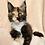 Thumbnail: 343 Xarizma   Maine Coon female kitten