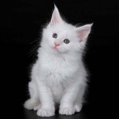 823 Arktour   Maine Coon male kitten