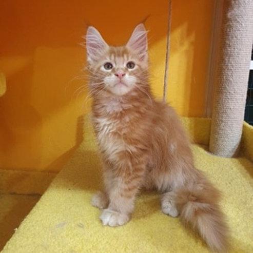 469 Baron Maine Coon male kitten