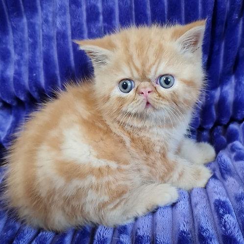 149 Barry   Exotic  male kitten
