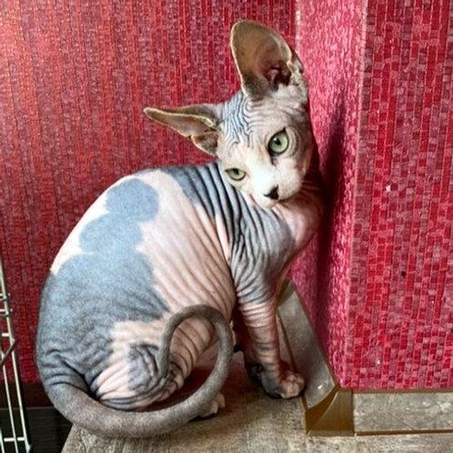 250 Claud  male Sphinx kitten