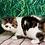 Thumbnail: 227 Melody Exotic  female kitten