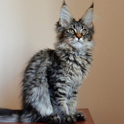 719 Gloria  Maine Coon female kitten