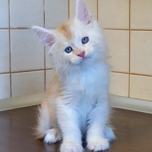 599 Dior Maine Coon male kitten