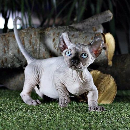 400 Dominica female Dwelf kitten