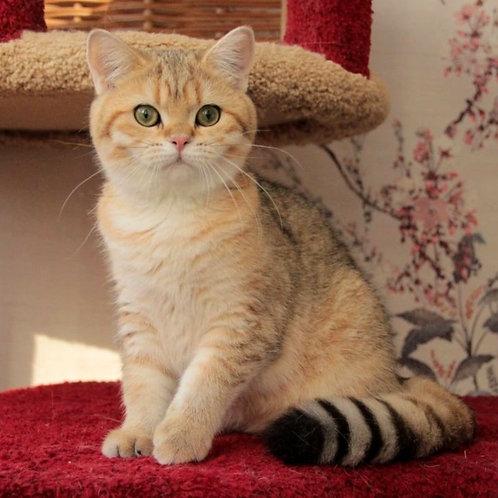 1162 Anfisa   British shorthair female kitten