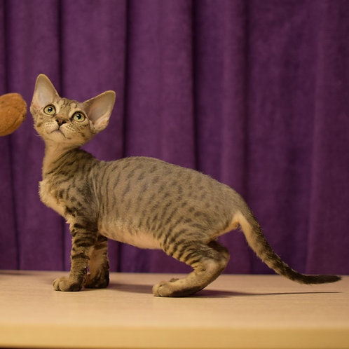 Evelin female kitten Devon Rex