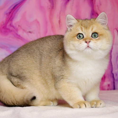 591 Kelvin  British shorthair male kitten