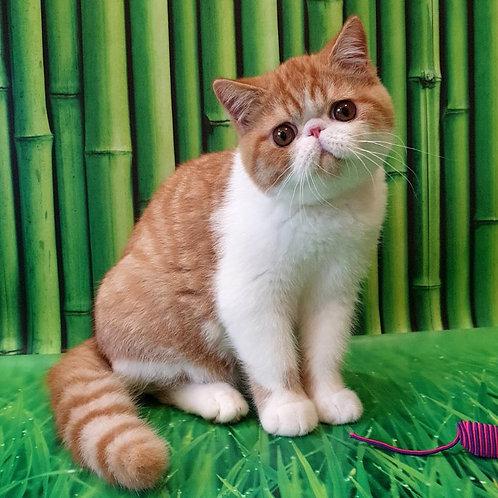 137 Jef Exotic shorthair male kitten