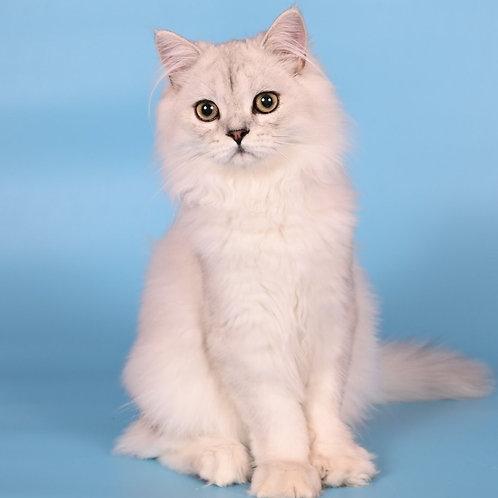 1048 Sugar  British longhair male kitten