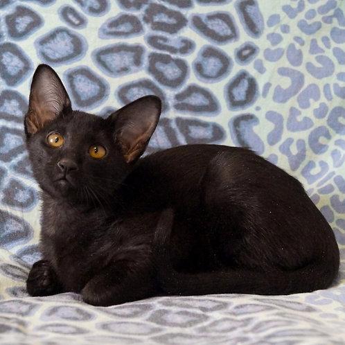 231 Blueberry   Peterbald female kitten