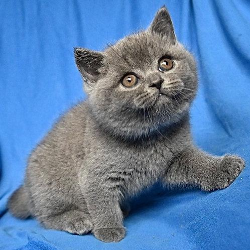 271 Xarley  British shorthair male kitten