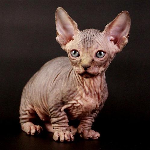 Peppermint male Bambino  kitten