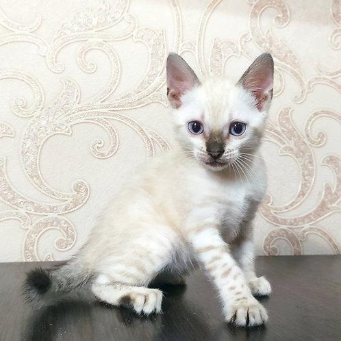 145 Flora purebred Bengal female kitten