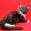 Thumbnail: 739 Hloe Maine Coon female kitten