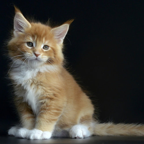 Ultra Max Maine Coon male kitten