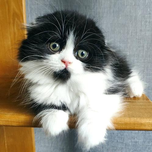 473 U-Jin      Scottish fold longhair male kitten