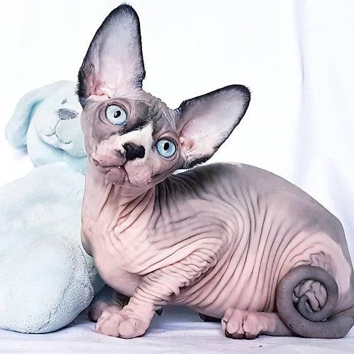 364 Barcelona    female Sphinx kitten