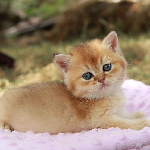 371 Genius  British shorthair male kitten