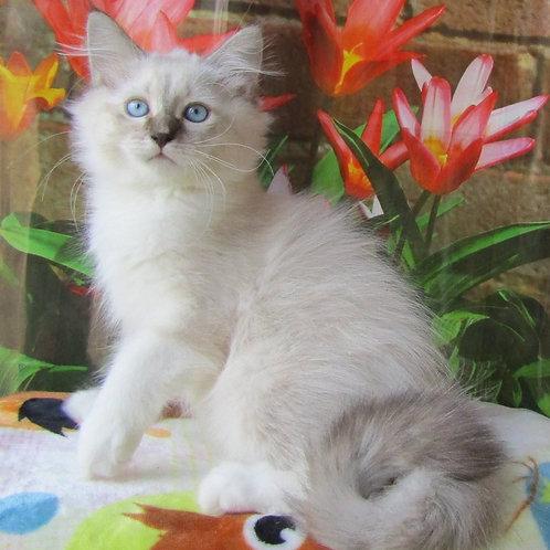 258 Skif   Siberian male kitten