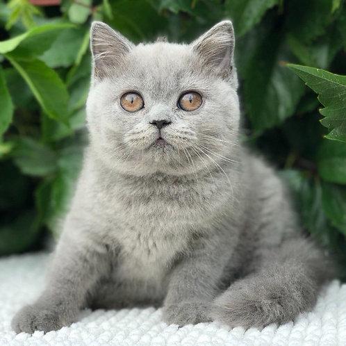 835 Magda  British shorthair female kitten