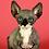 Thumbnail: 403 Dynamite male Bambino  kitten