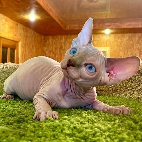582 Barni  male Sphynx   kitten