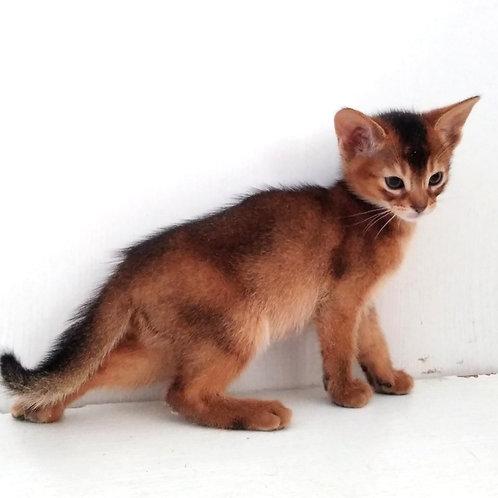 184 Mars  purebred Abyssinian male kitten