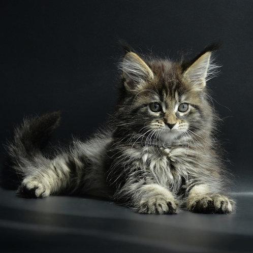 Aida Maine Coon female kitten