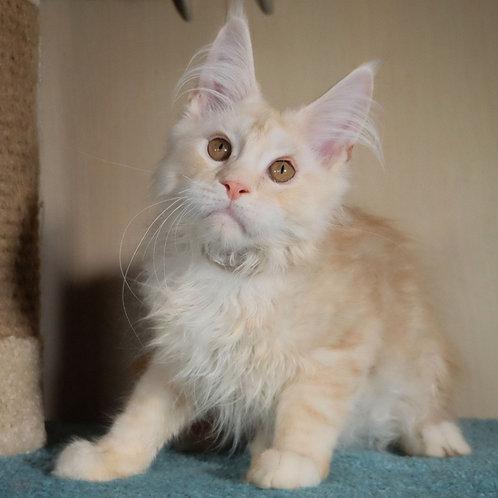 287 Garfield    Maine Coon male kitten