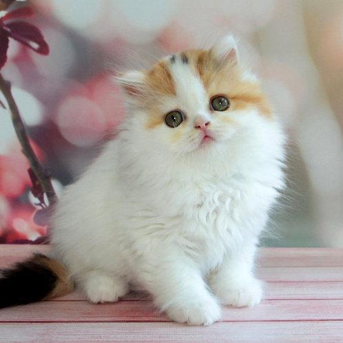 732 Caramel   Scottish straight longhair female kitten
