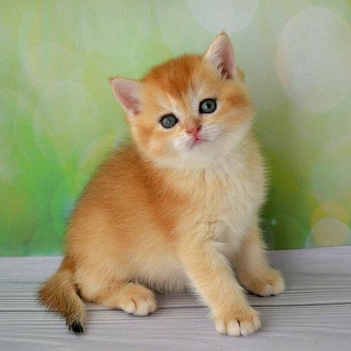 327 Melisa British shorthair female kitten
