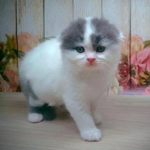 1015 Prohor  Scottish fold longhair male kitten