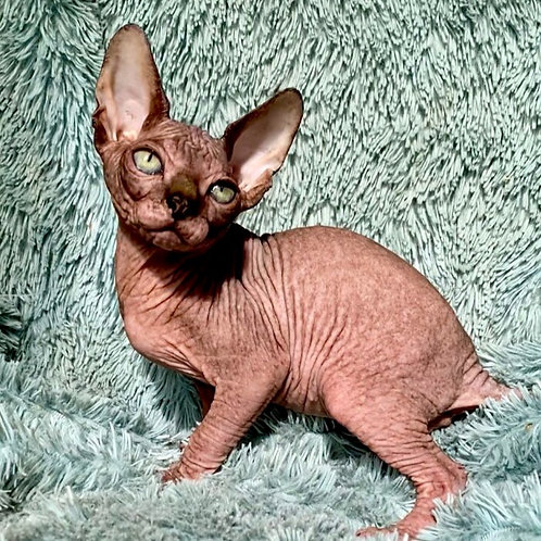 680 Versailles  male Sphynx   kitten