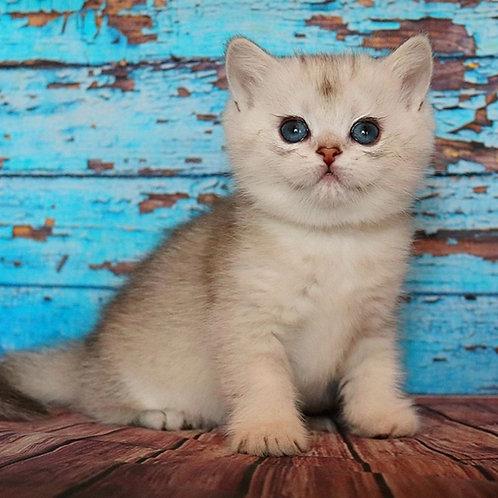Lawanda British shorthair female kitten