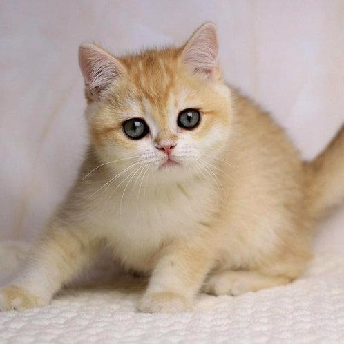 1065 Fiona  British shorthair female kitten