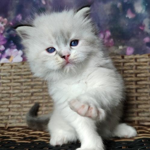 144 Picasso    Ragdoll male kitten