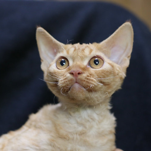 392 Pampkin male kitten Devon Rex
