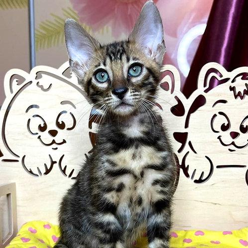 251 Olaf  purebred Bengal male kitten