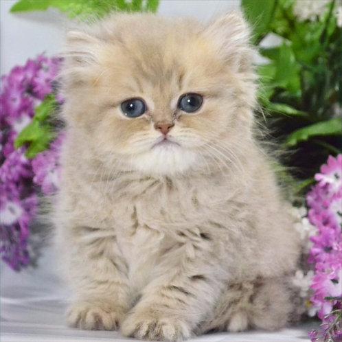 579 Judi  British longhair male kitten