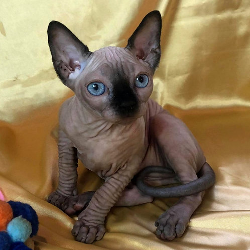 531 Amre male Sphynx  kitten