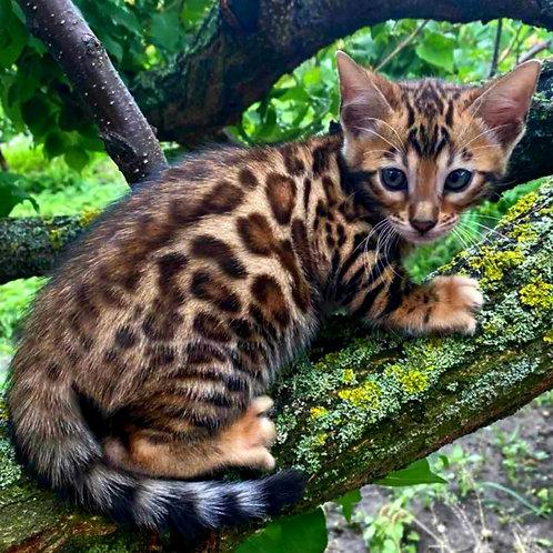 176 Bonya   purebred Bengal male kitten