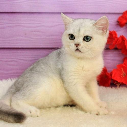 885 Solomon  British shorthair male kitten