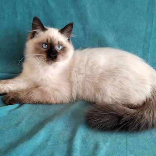 224 Nazar    Siberian male kitten