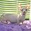 Thumbnail: 481 Bumblebee male Bambino  kitten