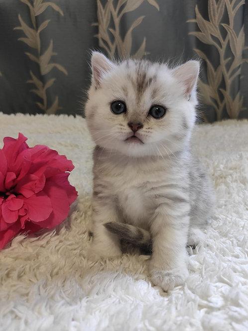 493 Charming    Scottish straight shorthair female kitten