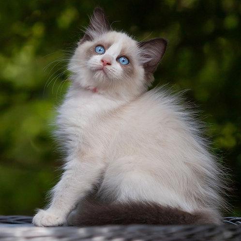 257 Daniil   Ragdoll male kitten