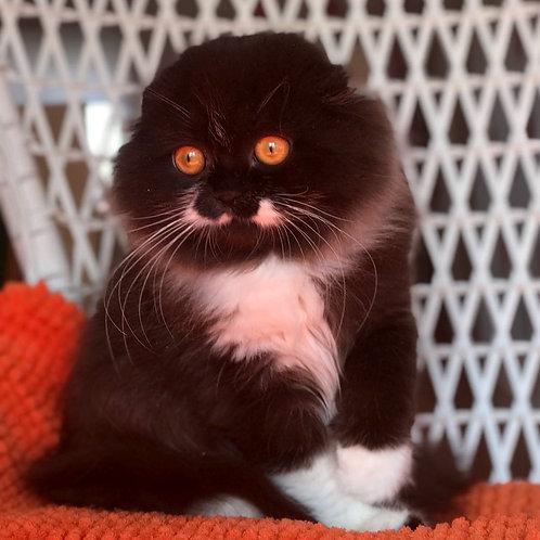 618 Max     Scottish fold longhair male kitten