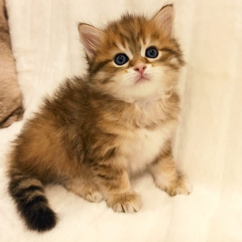 Olimp Siberian male kitten