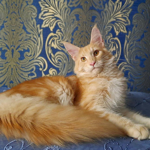 361 Emely     Maine Coon female kitten